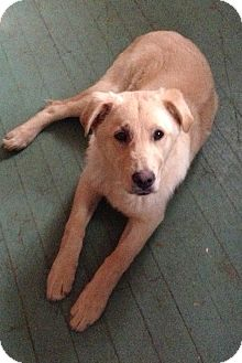 Labrador Retriever Mix Dog for adoption in Russellville, Kentucky - Drake