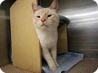 Siamese Cat for adoption in Warminster, Pennsylvania - Captain Catnip