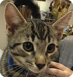 Domestic Shorthair Kitten for adoption in Flagstaff, Arizona - Grant