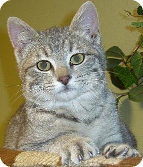 Domestic Shorthair Cat for adoption in Hastings, Nebraska - Bobcat