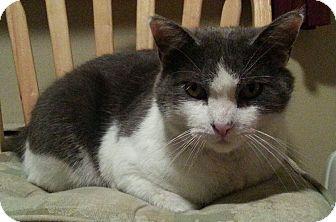 American Shorthair Cat for adoption in Brooklyn, New York - Patrick