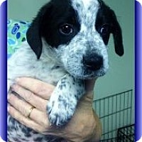 Adopt A Pet :: Sunny Boy - Staunton, VA