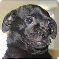 Adopt A Pet :: Apollo - Poway, CA