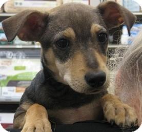 Dachshund/Terrier (Unknown Type, Small) Mix Puppy for adoption in Schertz, Texas - Viveka JH