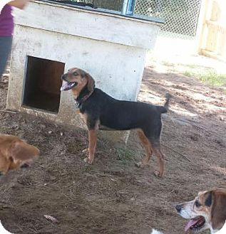 Beagle Mix Dog for adoption in Freeport, Maine - Rose Marie
