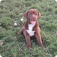 Adopt A Pet :: Scout - Copperas Cove, TX