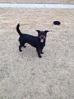 Standard Schnauzer/Corgi Mix Dog for adoption in Tunica, Mississippi - POPPY