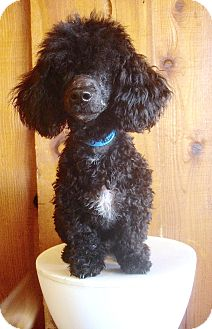 Toy Poodle/Dachshund Mix Dog for adoption in Van Nuys, California - Holy Toledo !