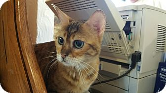 Bengal Cat for adoption in Grand Junction, Colorado - Emmi