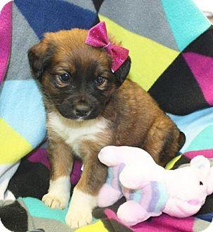 Shepherd (Unknown Type)/Border Collie Mix Puppy for adoption in Cottageville, West Virginia - Rita