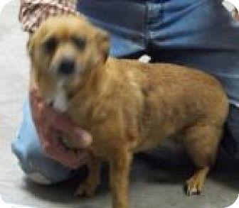 Corgi/Chihuahua Mix Dog for adoption in Silver City, New Mexico - Brandy