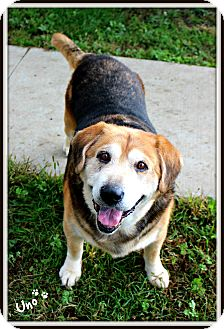 Beagle/Retriever (Unknown Type) Mix Dog for adoption in Dunkirk, New York - Uno