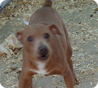 Miniature Pinscher Mix Dog for adoption in Crump, Tennessee - Bennie