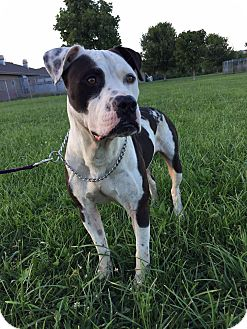 Pit Bull Terrier/American Bulldog Mix Dog for adoption in Maryville, Missouri - Angus