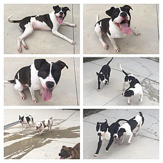 American Bulldog Mix Dog for adoption in Everman, Texas - Clyde