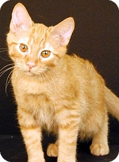 Domestic Shorthair Cat for adoption in Newland, North Carolina - Penne