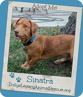 Basset Hound/Labrador Retriever Mix Dog for adoption in Lincoln, Nebraska - SINATRA