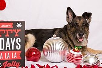 German Shepherd Dog Dog for adoption in Lithia, Florida - Sammie-16