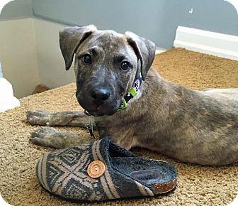 Mastiff/Retriever (Unknown Type) Mix Puppy for adoption in Troy, Michigan - Hank