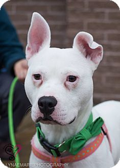 American Staffordshire Terrier Mix Dog for adoption in Grand Rapids, Michigan - Hercules