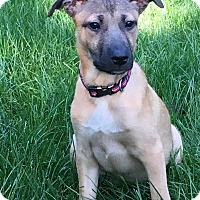 Adopt A Pet :: Corey-Coconut Retreiver - Randolph, NJ