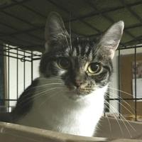 Bengal/Domestic Shorthair Mix Cat for adoption in Salem, Ohio - Faith