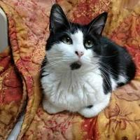 Domestic Shorthair/Domestic Shorthair Mix Cat for adoption in Houghton, Michigan - Sally