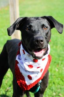 Labrador Retriever Mix Dog for adoption in Anderson, Indiana - Ruby