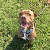 Adopt A Pet :: Alfred - Newport News, VA