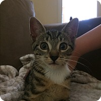 Domestic Shorthair Kitten for adoption in Randolph, New Jersey - Bloom - playful and adorable