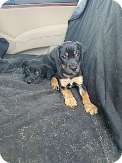 Black and Tan Coonhound Mix Puppy for adoption in Newcastle, Oklahoma - DiNozzo