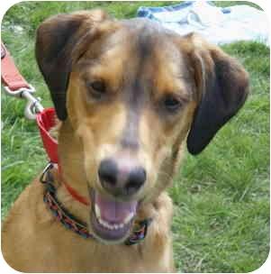 Greyhound/Doberman Pinscher Mix Dog for adoption in Warren, New Jersey - Lucky Girl