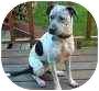 Australian Cattle Dog/Pit Bull Terrier Mix Dog for adoption in Portland, Oregon - Sheba