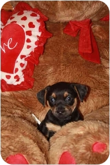 Chihuahua/Dachshund Mix Puppy for adoption in Homer, New York - Bitsy