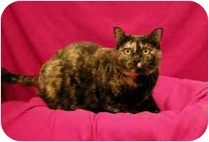 Domestic Shorthair Cat for adoption in Sacramento, California - Audrey