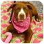 Photo 2 - American Staffordshire Terrier/Labrador Retriever Mix Puppy for adoption in Sacramento, California - Buttercup cute