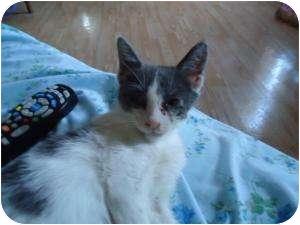 Domestic Shorthair Kitten for adoption in Cleveland, Ohio - Little Spirit