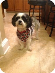 Lhasa Apso Dog for adoption in Media, Pennsylvania - Boo Boo