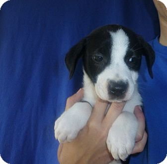 Border Collie/Labrador Retriever Mix Puppy for adoption in Oviedo, Florida - Nell