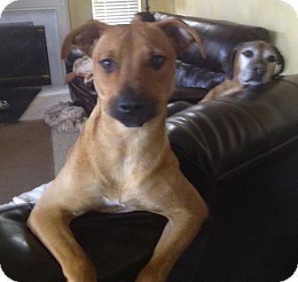 Rhodesian Ridgeback Dog for adoption in Bartonsville, Pennsylvania - Sadie