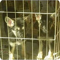 Adopt A Pet :: Cindy - Fowler, CA