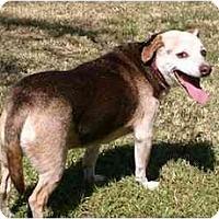 Adopt A Pet :: Shorty Guy - Phoenix, AZ