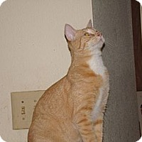 Domestic Shorthair Cat for adoption in Scottsdale, Arizona - Bart-four years  4/16