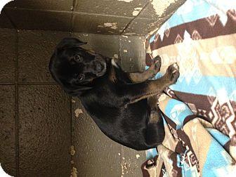 Shepherd (Unknown Type) Mix Puppy for adoption in Henderson, North Carolina - Kylie