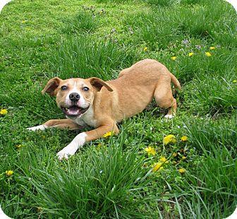 Labrador Retriever Mix Puppy for adoption in Buffalo, New York - Laverne: 5 months