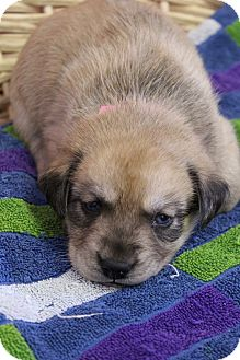 Labrador Retriever Mix Puppy for adoption in Waldorf, Maryland - Glee-Not yet available