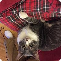 Adopt A Pet :: Duke Dynamo - Chicago, IL