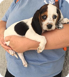 Cocker Spaniel/Beagle Mix Puppy for adoption in Mount Pleasant, South Carolina - Tiffany