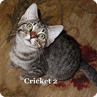Adopt A Pet :: Cricket - Bentonville, AR
