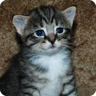 Domestic Shorthair Kitten for adoption in Walworth, New York - Nevaeh